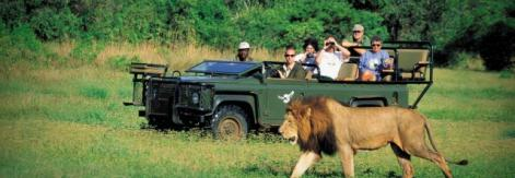 African lion and tourists on the watch